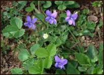 picture of declining violet