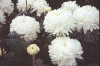picture of Chrysanthemum - Evelyn Bush