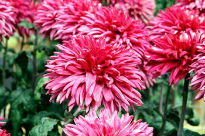 picture of Chrysanthemum - Regalia