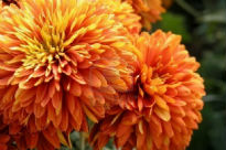picture of Chrysanthemum - Escort