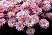 picture of Chrysanthemum - Enbee Wedding