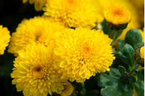 picture of Chrysanthemum - Denise