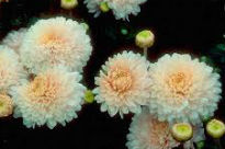 picture of Chrysanthemum - Pennine Silver