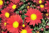 picture of Chrysanthemum - Red Charm