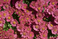 picture of Chrysanthemum - Pink Cascade