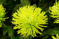 picture of Chrysanthemum - Green Mist