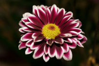 picture of Chrysanthemum - Beautiful Lady