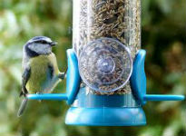 picture of blue tit feeding