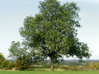 picture of Ash tree