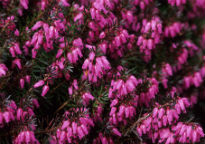 picture of Erica carnea 'Vivellii'