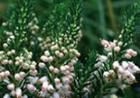 picture of Erica cinerea 'Hookstone White'