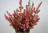picture of Erica erigena 'Irish Dusk'