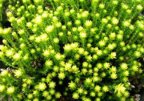 picture of Erica stuartii 'Irish Lemon'