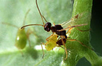 image of parasitic wasp