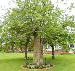image of the Sweet Chestnut tree