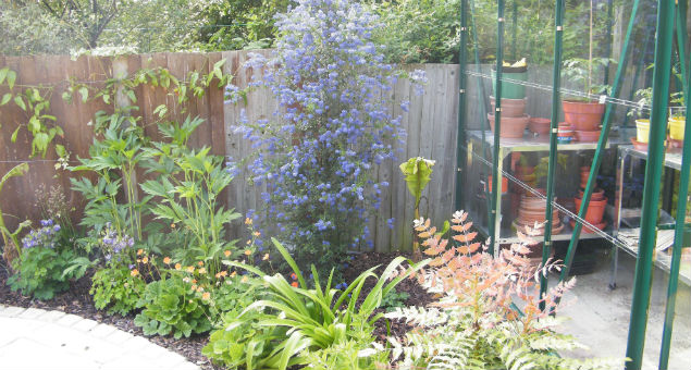 Planting to the side of the greenhouse showing the ceanothus in bloom