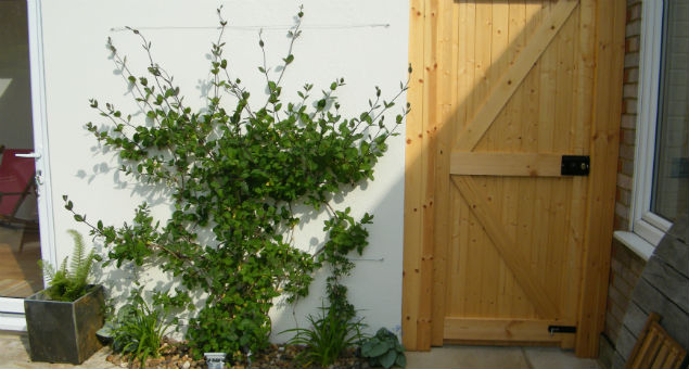 The climber softens the wall of the studio and we added a new garden gate, tall enough to give a level of security.